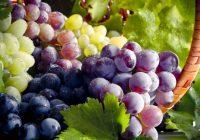 La administración de un compuesto de uva a través de la nariz puede proteger contra el cáncer de pulmón